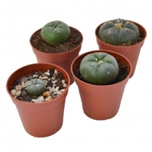 Peyote cactus 1 - 2 cm | Lophophora Williamsii