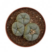 Peyote cactus 3 cluster - Lophophora williamsii