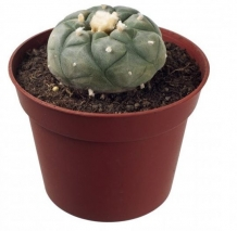 Peyote cactus 4 - 5 cm | lophophora Williamsii