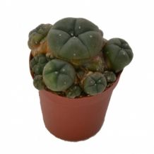 Peyote  cluster 5.5 cm | Lophophora Williamsii